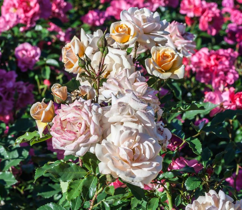 Mel doce de Rosa o conjunto nas flores mel-amarelas do ramo imagens de stock