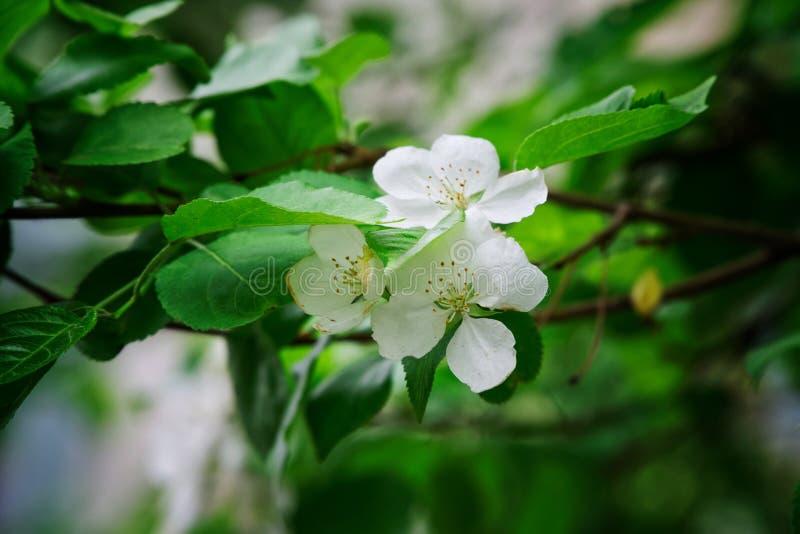 Mela di fioritura stupefacente bella dei fiori bianchi Vegetazione della primavera Natura ed il suo incanto fotografie stock libere da diritti