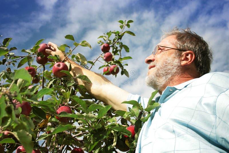 Mela di raccolto dell'uomo in frutteto fotografia stock libera da diritti
