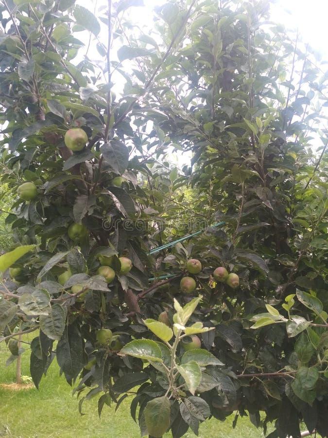 Mela kashmiri di gusto squisito delle mele immagini stock