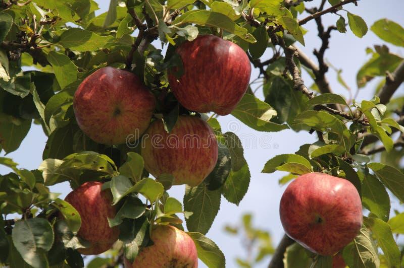 Mela rossa su un albero fotografia stock libera da diritti