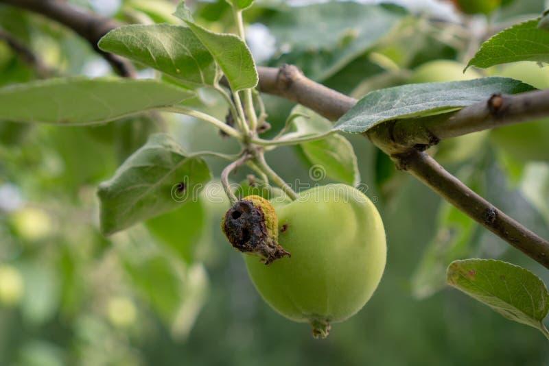 Mela verde e caduta marcia della mela su una fine del ramo su Coltivando, agricoltura, ecologia e rimedio agli alberi fotografia stock