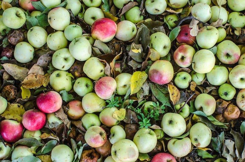Mela verde, rossa e marrone organica Mele delizia e succose del giardino cadute dall'albero immagine stock libera da diritti