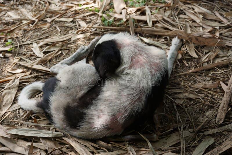 Melaatsheid bij hond stock fotografie
