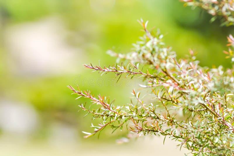 Melaleuca bracteata或垂柳 免版税库存照片