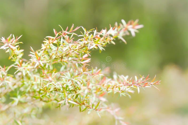 Melaleuca bracteata或垂柳 免版税库存图片