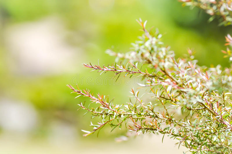 Melaleuca bracteata or weeping willow. Plant royalty free stock photo