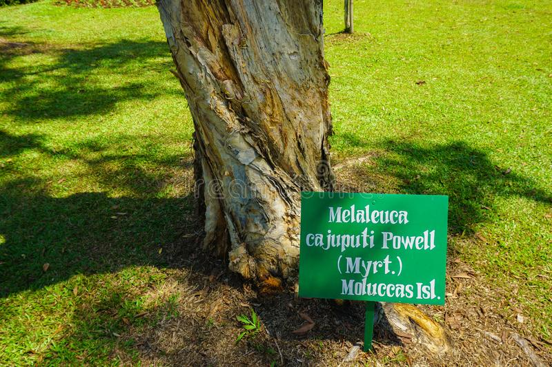 Melaleuca cajuputi powell moluccas tree with banner name on top of green grass. In bogor indonesia royalty free stock photo