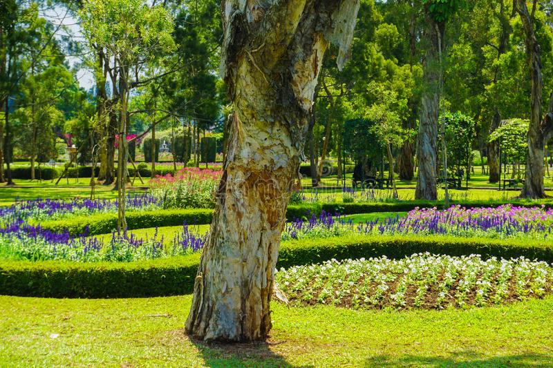 Melaleuca cajuputi powell moluccas tree with old layer skin and blooming flower at background. In bogor indonesia stock images