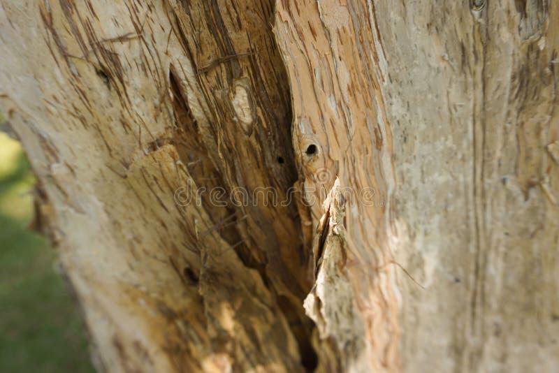 Melaleuca cajuputi powell moluccas tree tree skin old weathered. In bogor indonesia stock photography