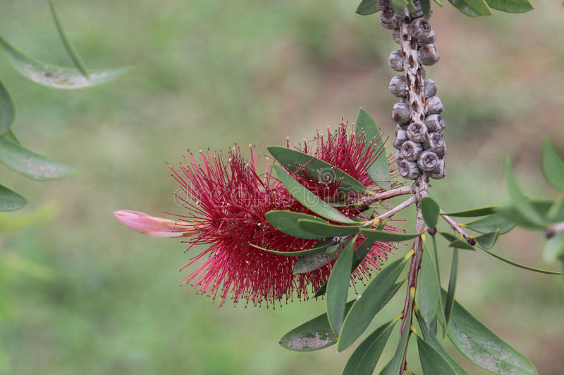 Melaleuca flower. Melaleuca is a genus of nearly 300 species of plants in the myrtle family, Myrtaceae, commonly known as paperbarks, honey-myrtles or tea-trees stock photography