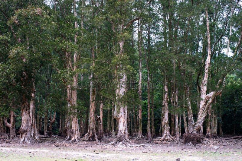 Melaleuca forest. Tsuen Wan, Hong Kong, China royalty free stock photo