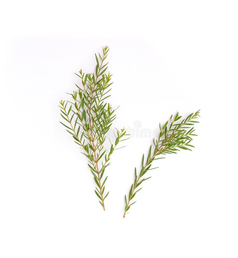 Melaleuca linariifolia Claret Tops feuilles isolées en blanc photographie stock
