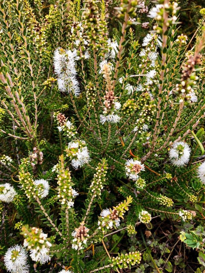 Melaleuca Paperbarks white flower spikes, also called Honey-myrtles, Tea-tree. Closeup of Melaleuca Paperbarks white flower spikes, also called Honey-myrtles stock image