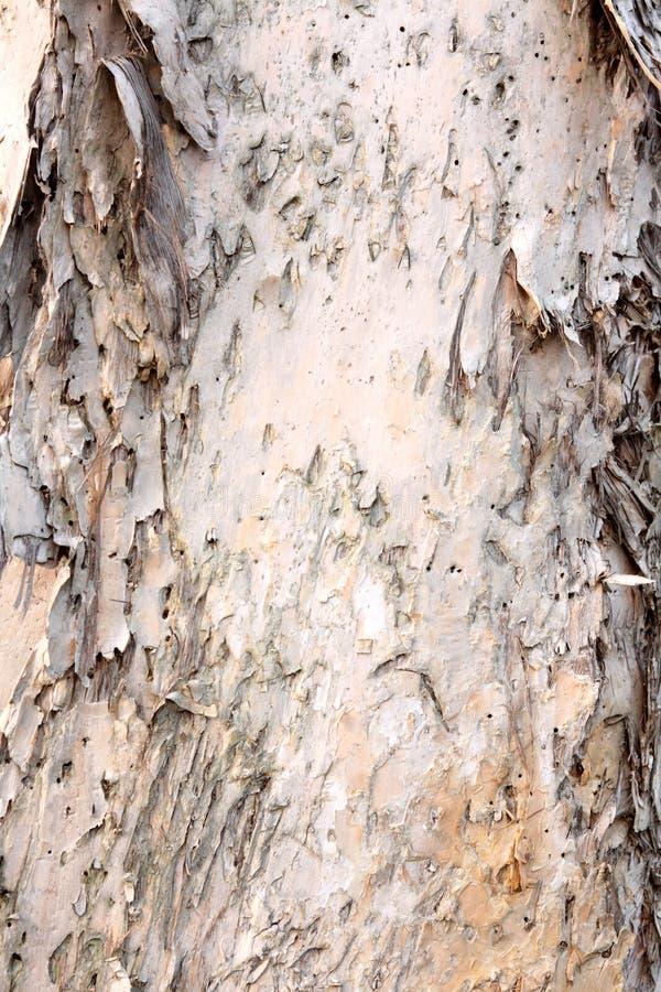 Melaleuca Quinquenervia. Tree Bark of Melaleuca Quinquenervia stock photo