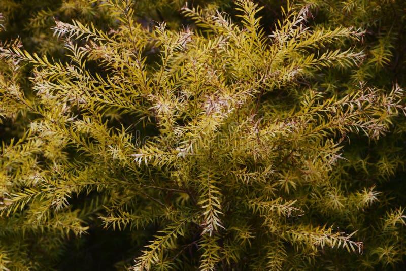 Melaleuca Revolution Gold. Golden leaves / Melaleuca Revolution Gold royalty free stock photos