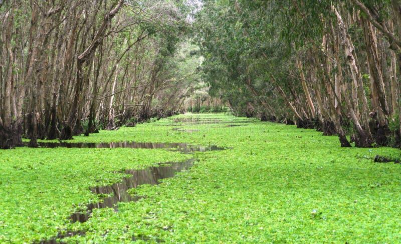 Melaleuca skog i solig morgon royaltyfria foton