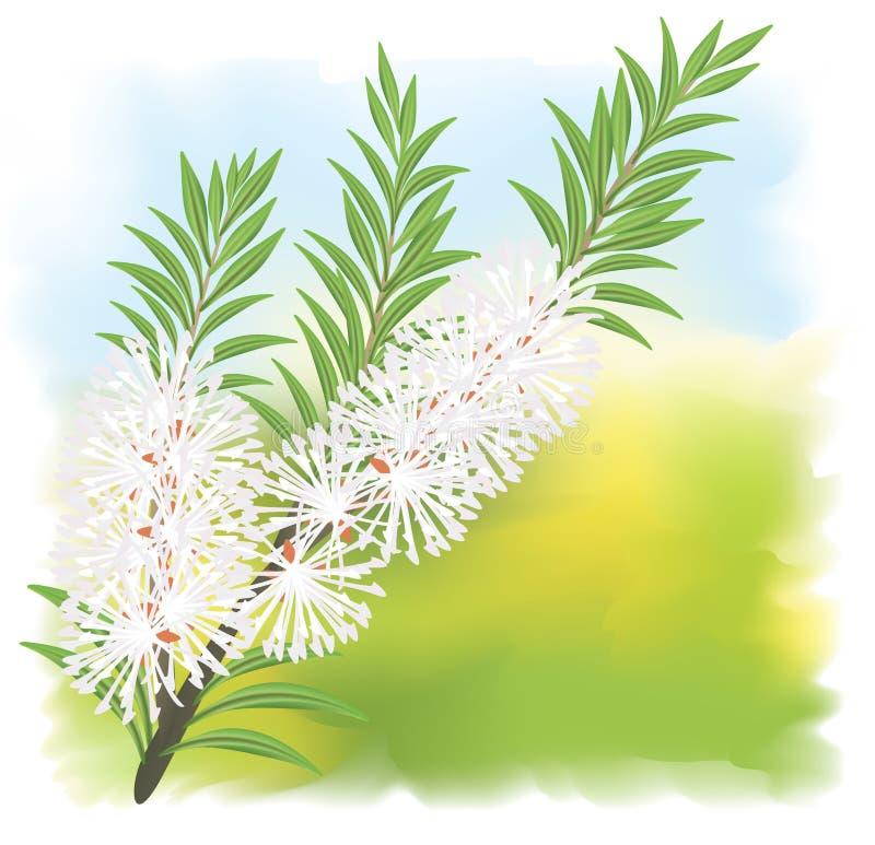 Melaleuca - tea tree. Illustration on fullcolor background vector illustration