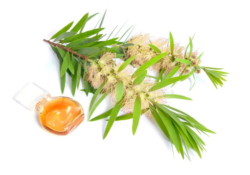 Melaleuca tea tree essential oil with twig. Isolated on white. Background royalty free stock images