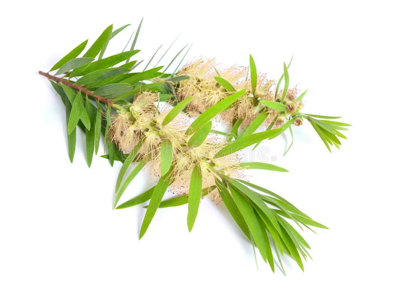 Melaleuca tea tree twig with flowers. Isolated on white backgr. Ound stock photography
