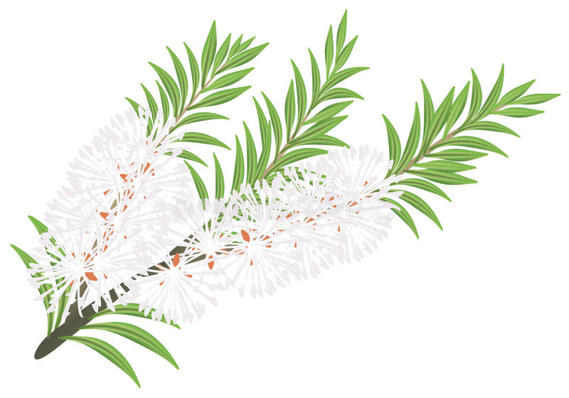 Melaleuca - theeboom. royalty-vrije illustratie