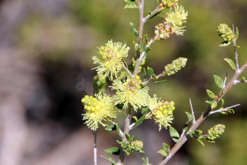 Melaleuca Thymoides Sand wattle Myrtle wildflower. Is a small shrubby plant blooming in spring in the forests of south western Australia providing nectar for royalty free stock images