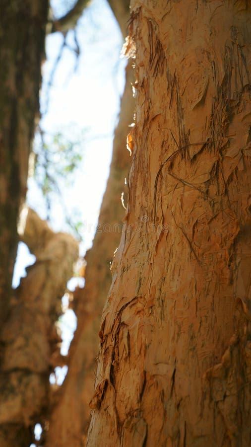 Melaleuca trädstam arkivbild