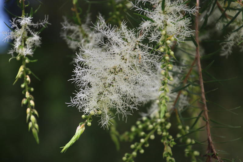 Melaleuca Tree in Bloom. With White Flowers royalty free stock photography