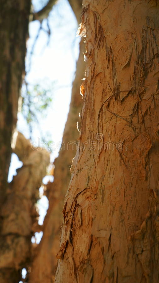 Melaleuca Tree Trunk stock photography