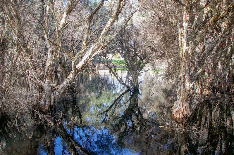 Melaleuca Trees at Herdsman Lake. Herdsman Lake landscape with melaleuca, or paperbark trees, reflecting in the wetland reserve in Churchlands, Western Australia stock photo