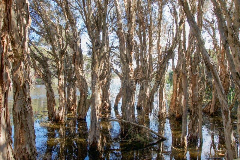 Melaleuca Trees. Herdsman Lake landscape with melaleuca, or paperbark trees, in the wetland reserve in Churchlands, Western Australia stock photos