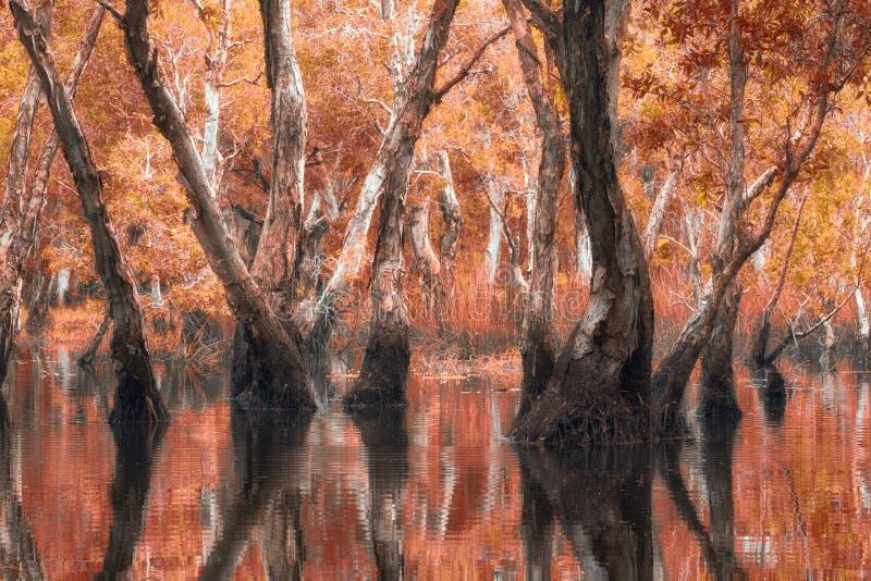 Melaleuca trees Wetland. In Rayong Thailland stock image
