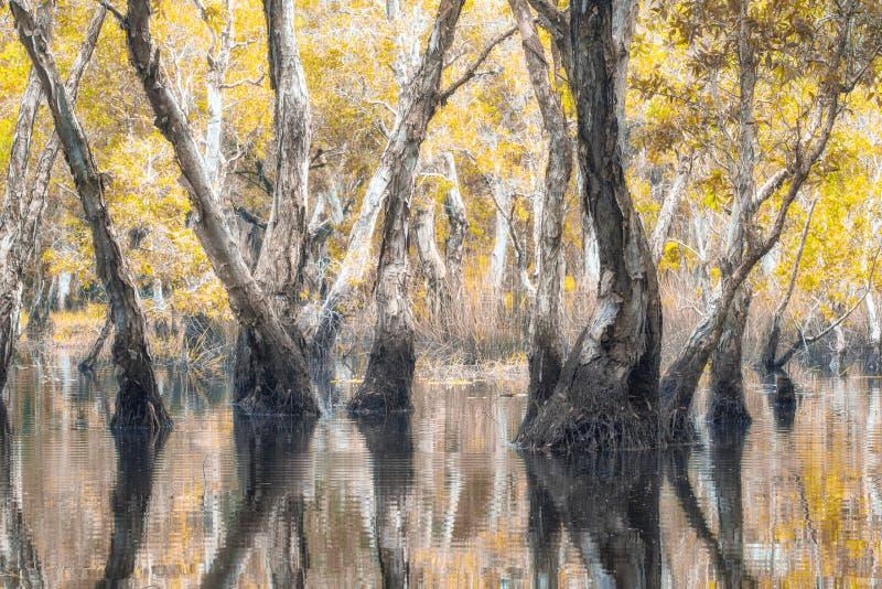 Melaleuca trees Wetland. In Rayong Thailland stock photos