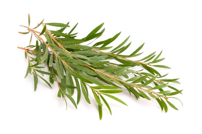 Melaleuca twigs. Isolated on white background stock image