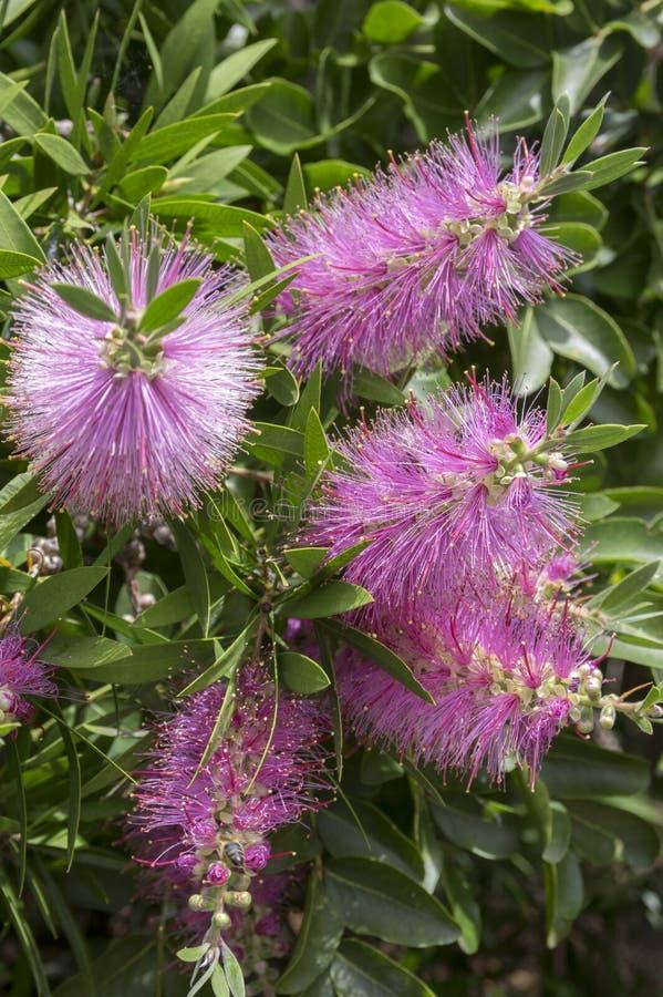 Melaleuca viminalis hot pink in bloom. Pink bottle brush shrub stock photography