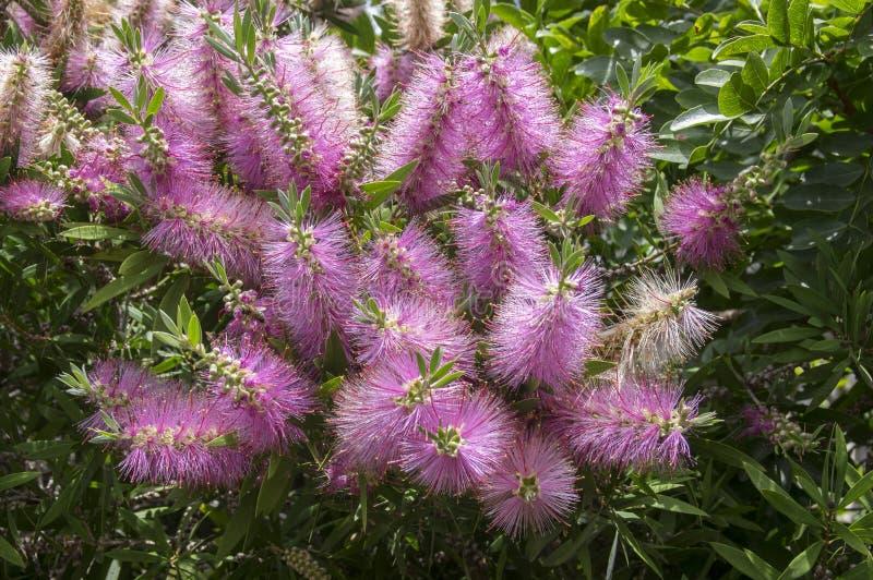 Melaleuca-viminalis Pinks in der Blüte lizenzfreie stockfotos