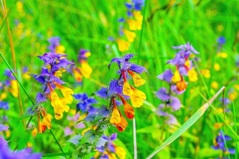 Melampyrum nemorosum花在夏天开花-夏天花卉自然本底 免版税库存图片