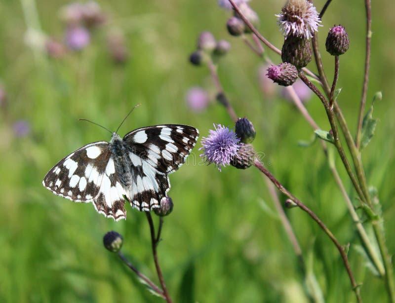 Melanargiagalathea, de marmer witte vlinder - dieren en het wild, mooie insecten royalty-vrije stock afbeelding