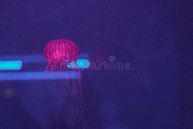 Melanaster della chrysaora, nuoto giapponese dell'ortica del mare dentro aquar fotografia stock