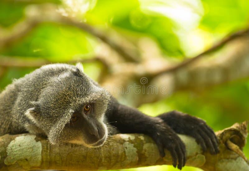 melancholii błękitny małpa obraz royalty free