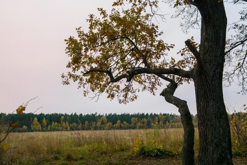 Melancholijny jesień krajobraz Osamotniony drzewo z fadingiem opuszcza po środku yellowing pola w chmurnym wieczór obrazy royalty free