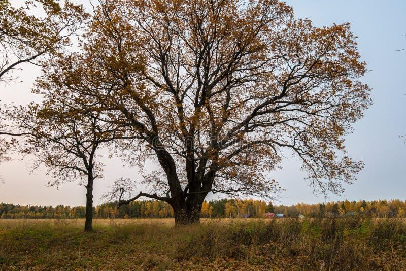 Melancholijny jesień krajobraz Prawie bezlistny stary dębowy drzewo na fadingu polu w chmurnym wieczór obraz royalty free
