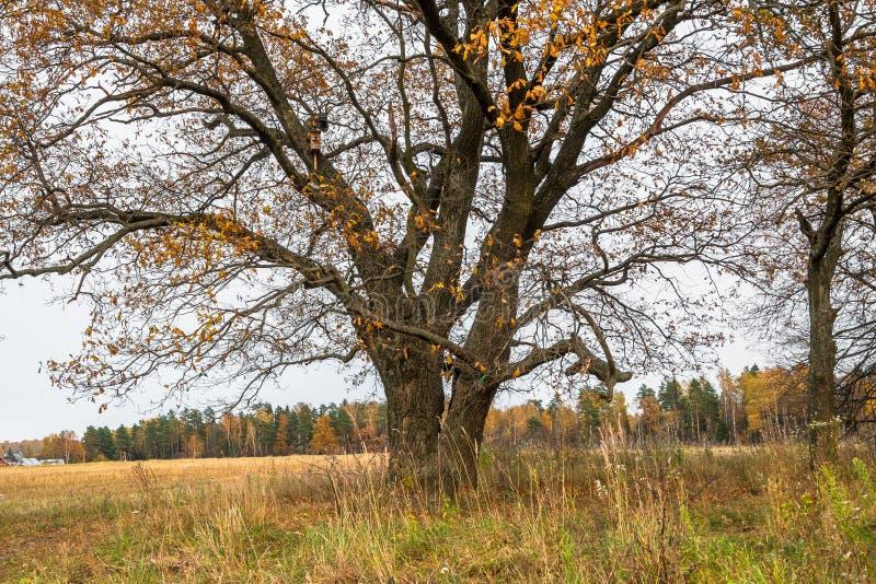 Melancholijny jesień krajobraz Prawie bezlistny stary dębowy drzewo na fadingu polu w chmurnym wieczór obraz stock