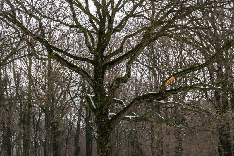 Melancholijny wizerunek ponury dębowy gaj w zimie zdjęcia stock