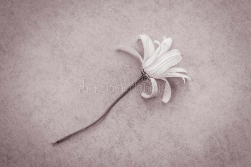 Melancholy: withered daisy. A withered daisy flower lying on the floor, inspiring a sense of melancholy royalty free stock photography