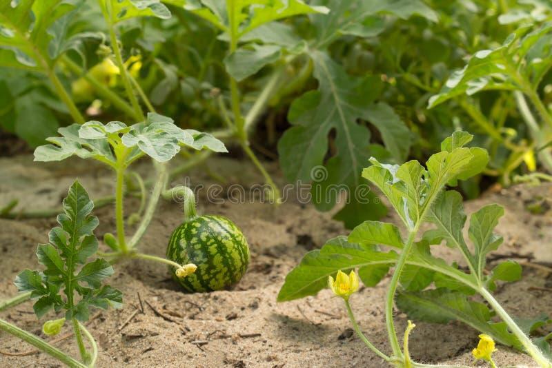 Melancia pequena nova no close up do tempo claro do jardim in fine imagens de stock