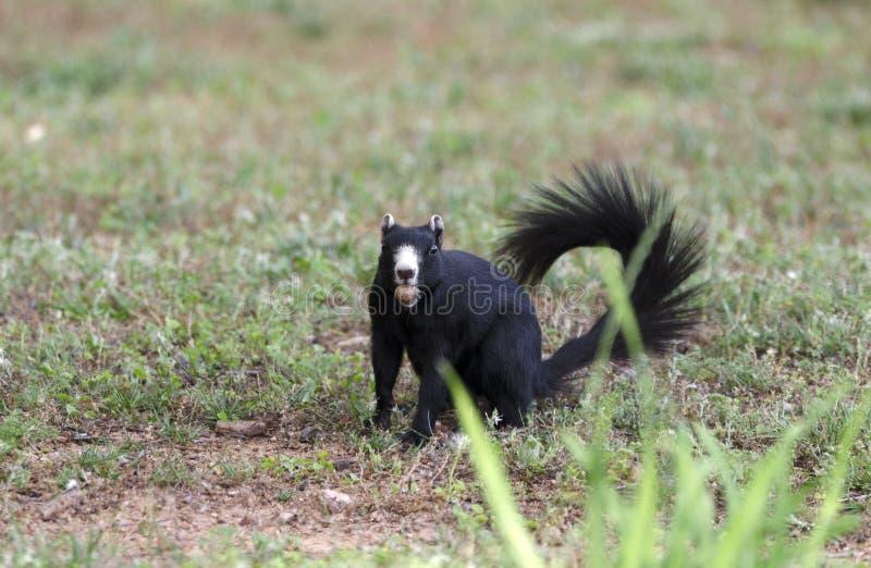 Melanistic黑东部灰色灰鼠, Watkinsville,乔治亚,美国 免版税库存照片
