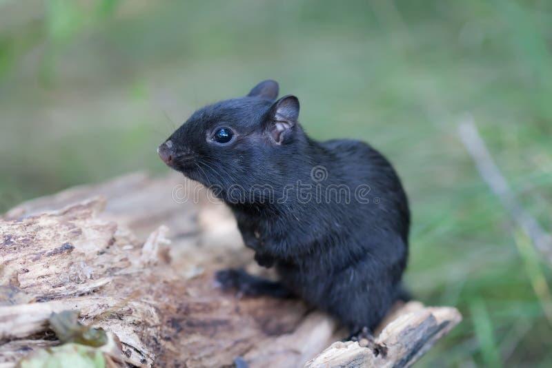 Melanistic黑色花栗鼠 免版税库存照片