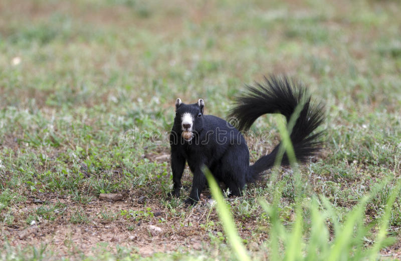 Melanistic Black Fox Squirrel, Watkinsville, Georgia, USA royalty free stock photo