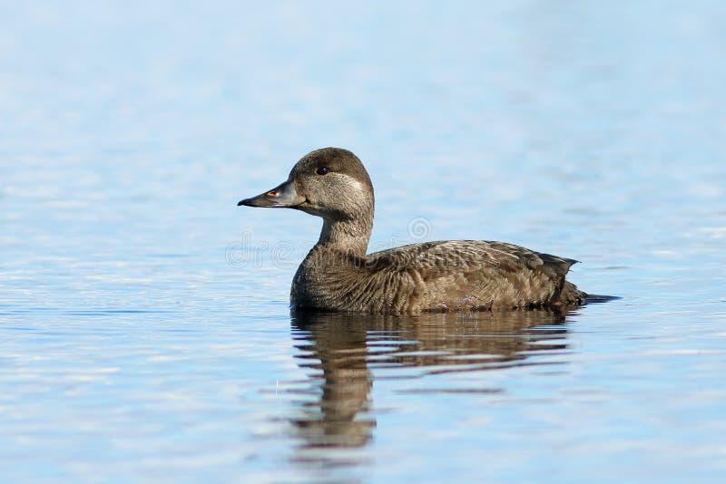 Melanitta nigra. Female ducks close up on a lake in the Yamal tu stock photography